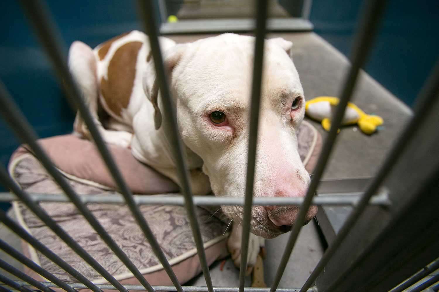 Mickey, a pit bull, at West Valley Animal Care Center in Phoenix, Ariz, on March 11, 2014. Mickey attacked four-year-old Kevin Vicente.