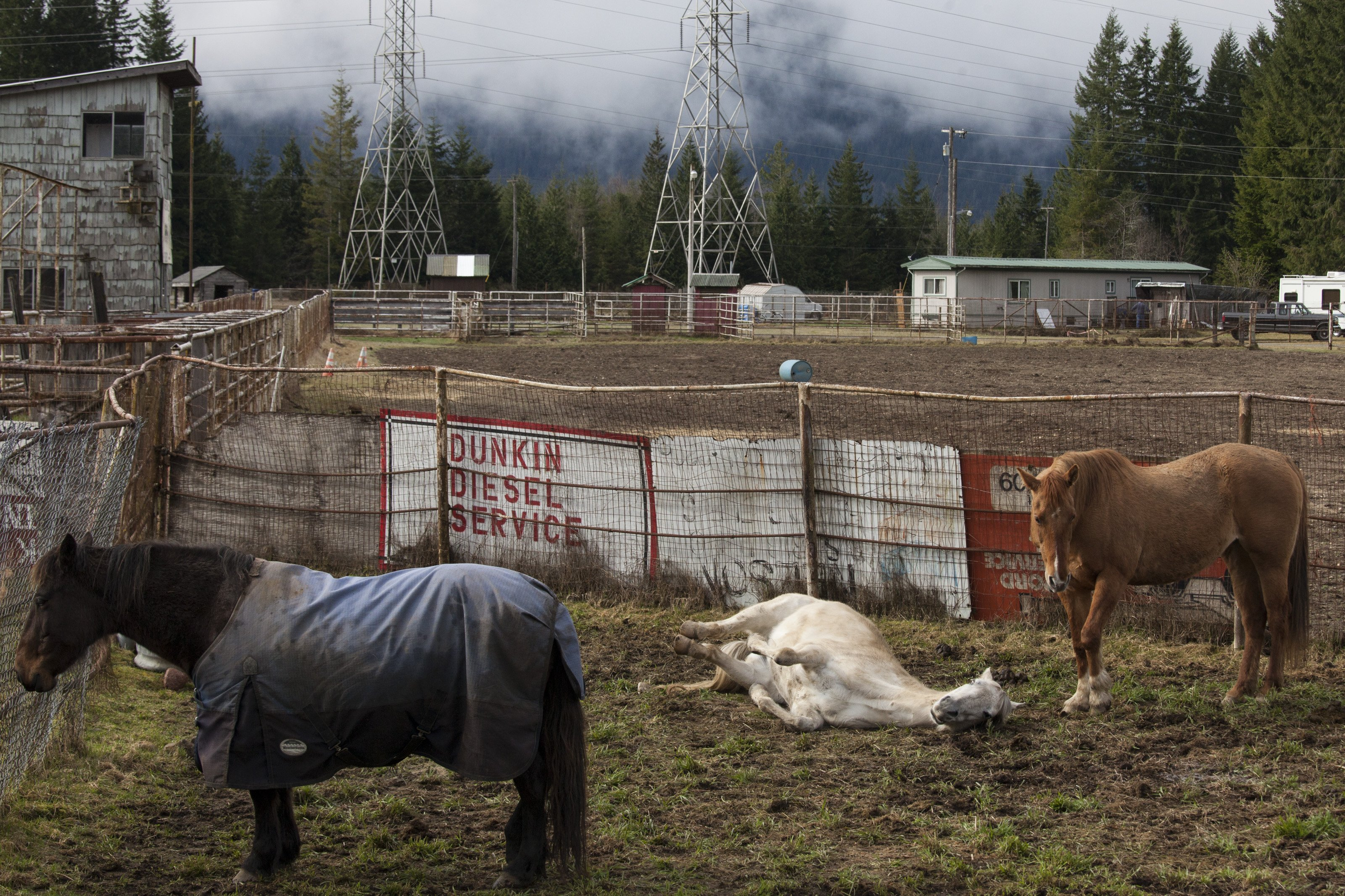 Rescued horses relax at the Darrington Rodeo Grounds on March 27, 2014 in Darrington, Wash.