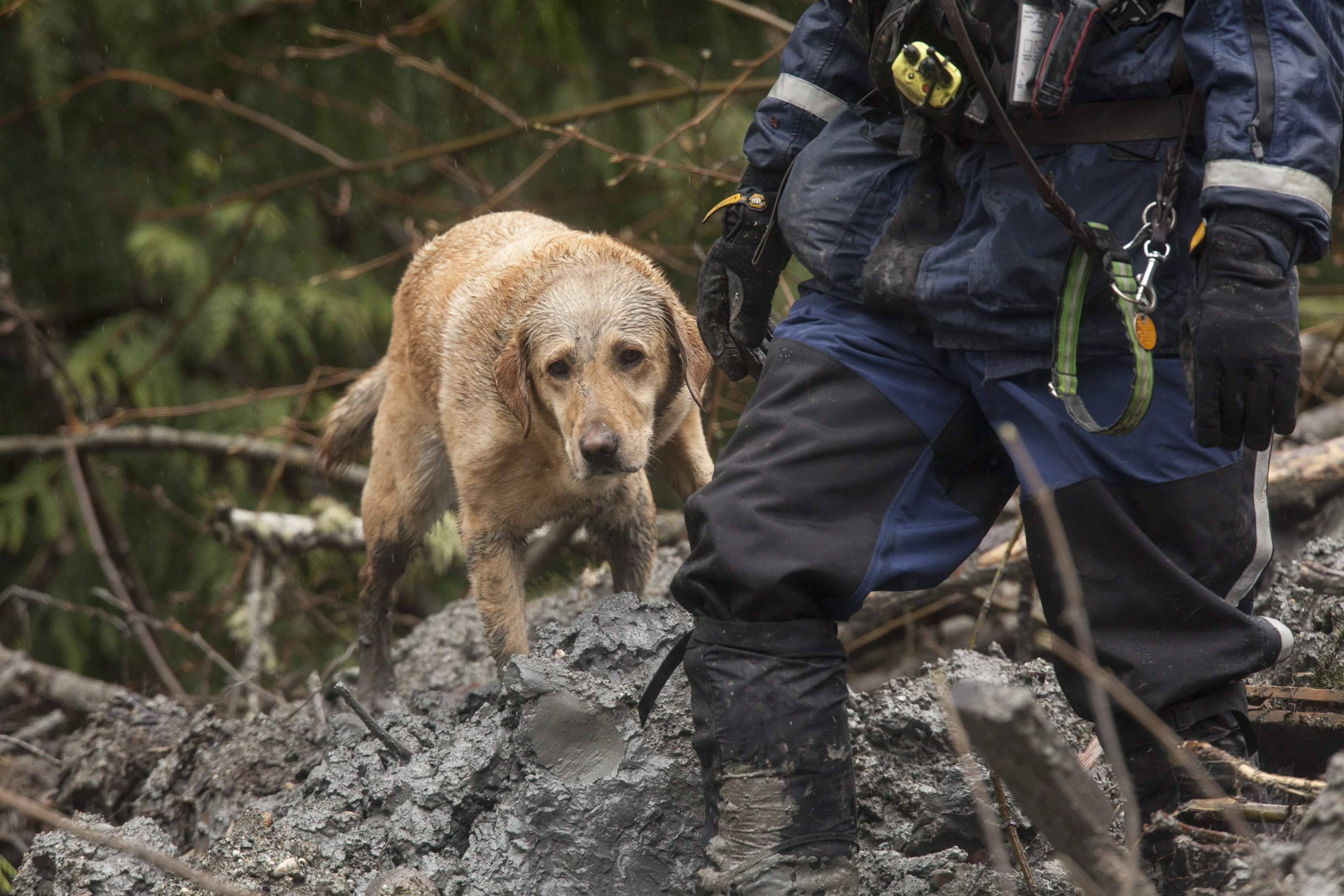 A search and rescue dog works the area of a massive mudslide on March 29, 2014 in Oso, Wash.