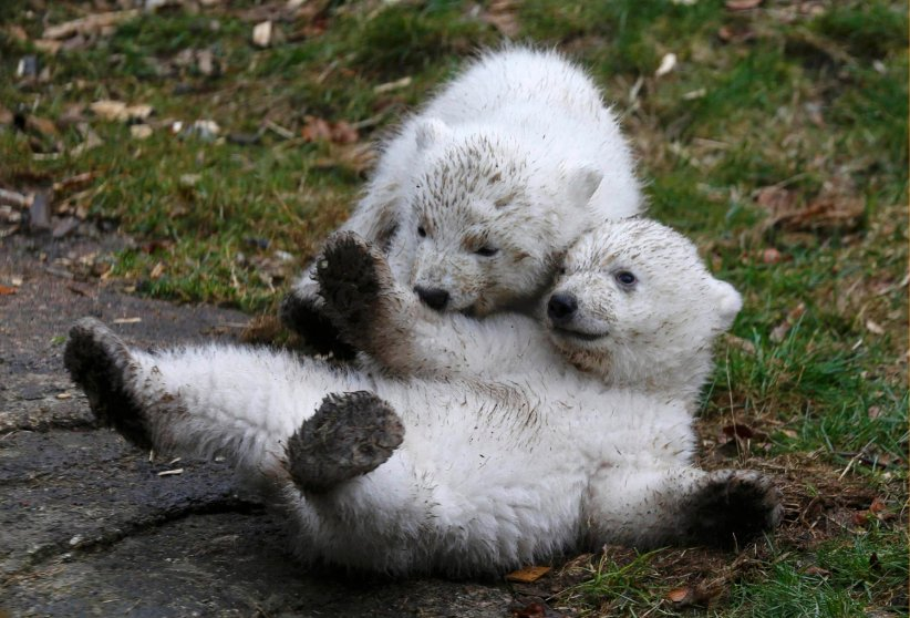 14 week-old twin polar bear cubs play during their first presentation to the media in Hellabrunn Zoo on March 19, 2014 in Munich. The male and female twins were born on Dec. 9, 2013 in the zoo.
