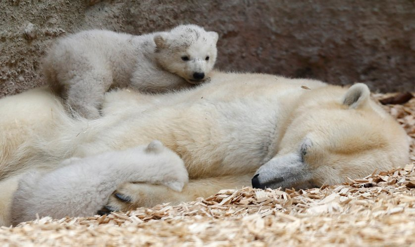 Twin polar bear cubs, who have yet to be named, lie on their mother Giovanna outside in their enclosure during their first public appearance.