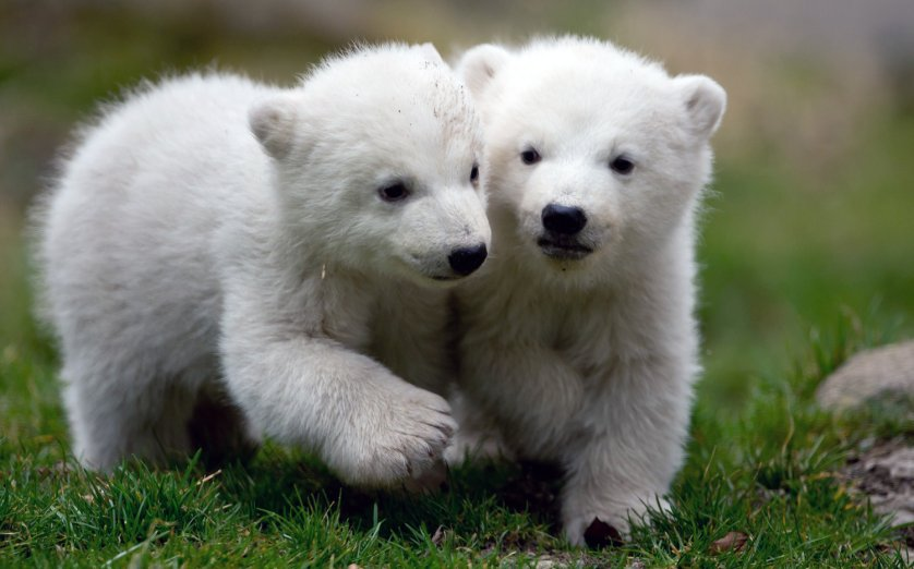 The twins explore their enclosure at the Hellabrunn Zoo for the first time.