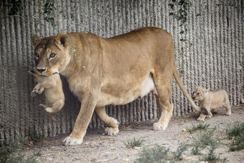 A lion and her cubs were euthanized together with their father this week in Copenhagen to make way for a new male
