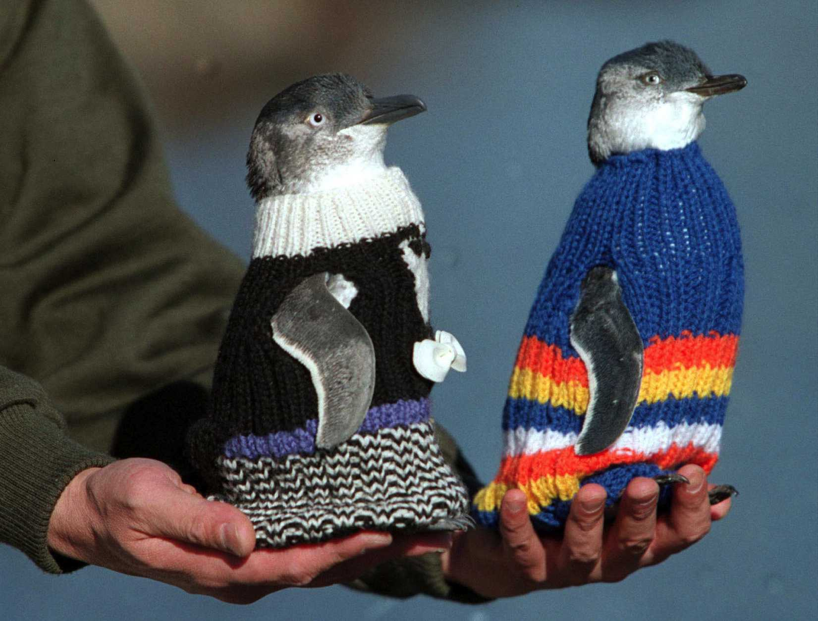 Penguin mannequins model newly-knitted protective woollen coats in Launceston, Tasmania May 22, 2001.