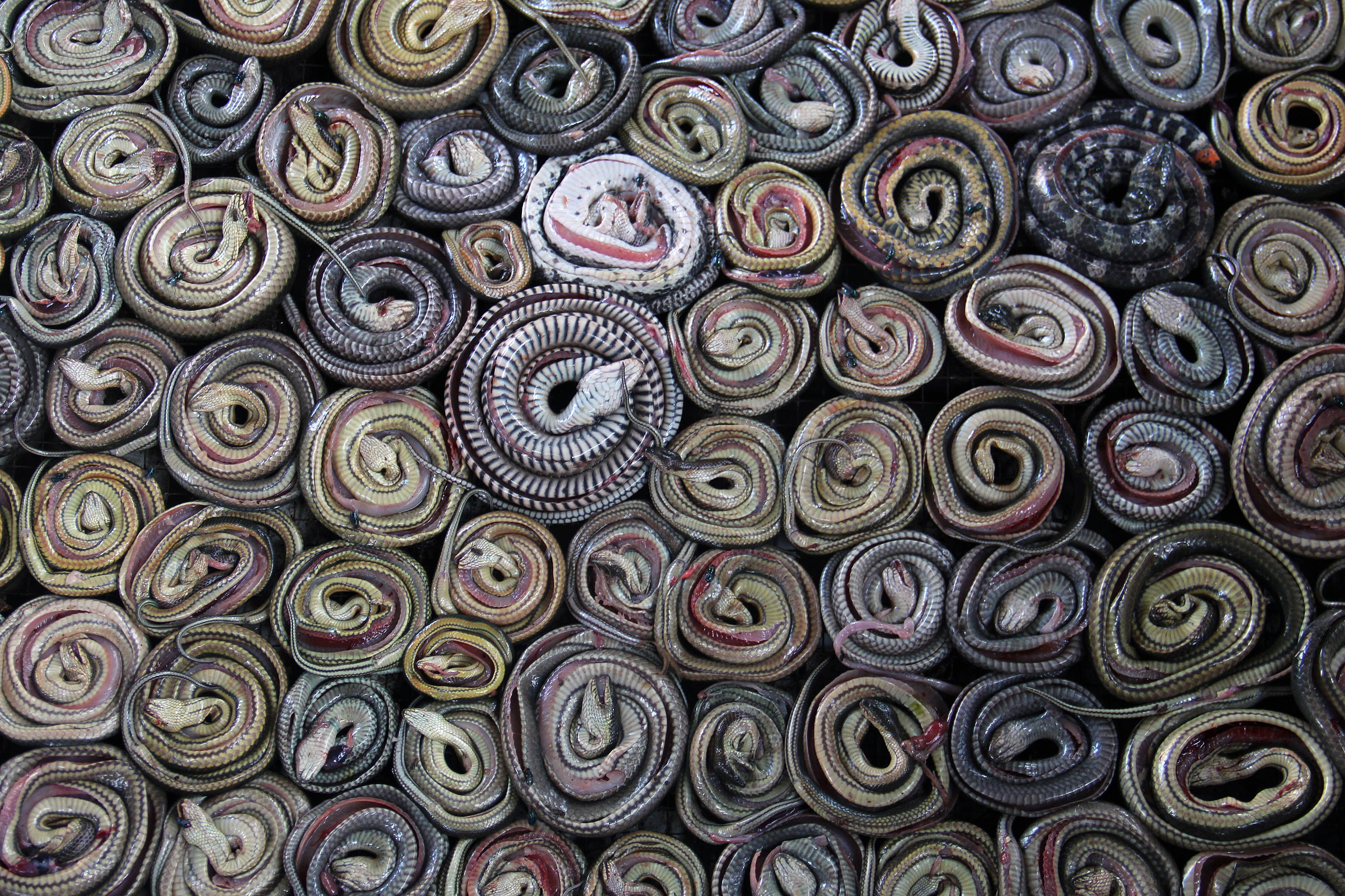 Snakes are collected and rolled before putting into the oven on March 2, 2014 in the village of Kertasura, Cirebon, Indonesia. At the slaughter house snake skins measuring in the hundreds of metres, are sold to bag factories in the West and Central Java provinces on a monthly basis.