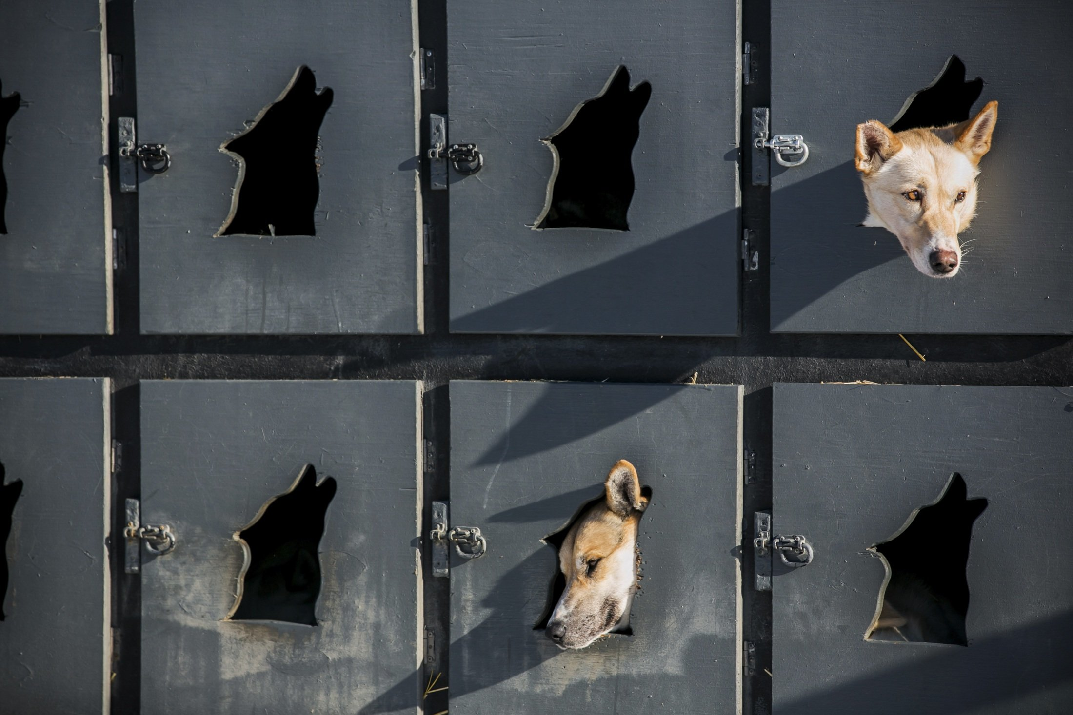 Justin Savidis dogs await lineup in the musher lot before the official restart of the nearly 1,000-mile Iditarod Trail Sled Dog Race in Willow, Alaska, March 2, 2014, which commemorates a 1925 rescue mission that carried diphtheria serum by sled-dog relay to the coastal community of Nome, the final destination.