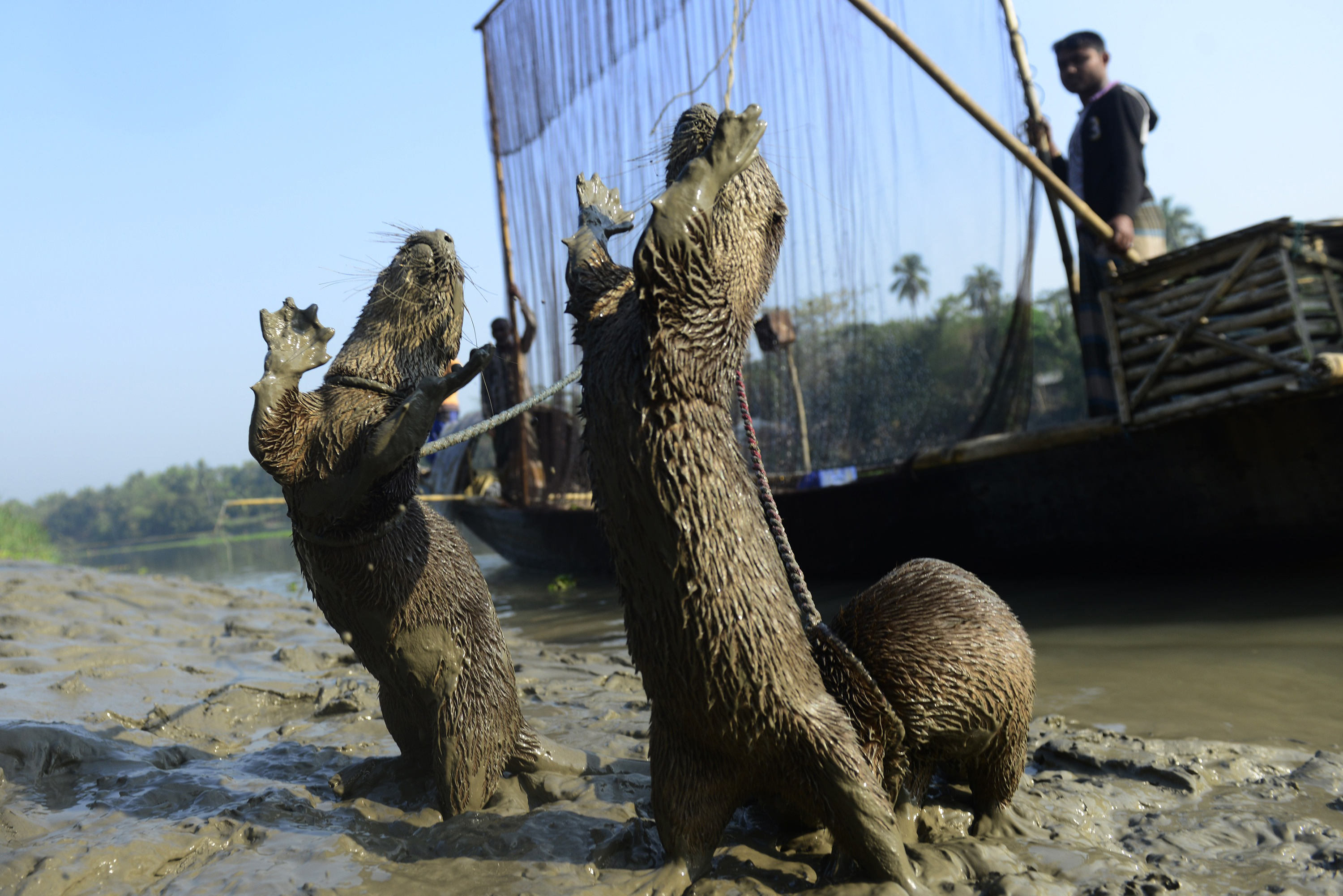Bangladeshi fisherman feed their otters as they catch fish in Narail some 208kms from Dhaka on March 11, 2014.  The fishermen are using a rare technique that relies on coordination between man and trained otters, a centuries-old fishing partnership that has already long died out in other parts of Asia.