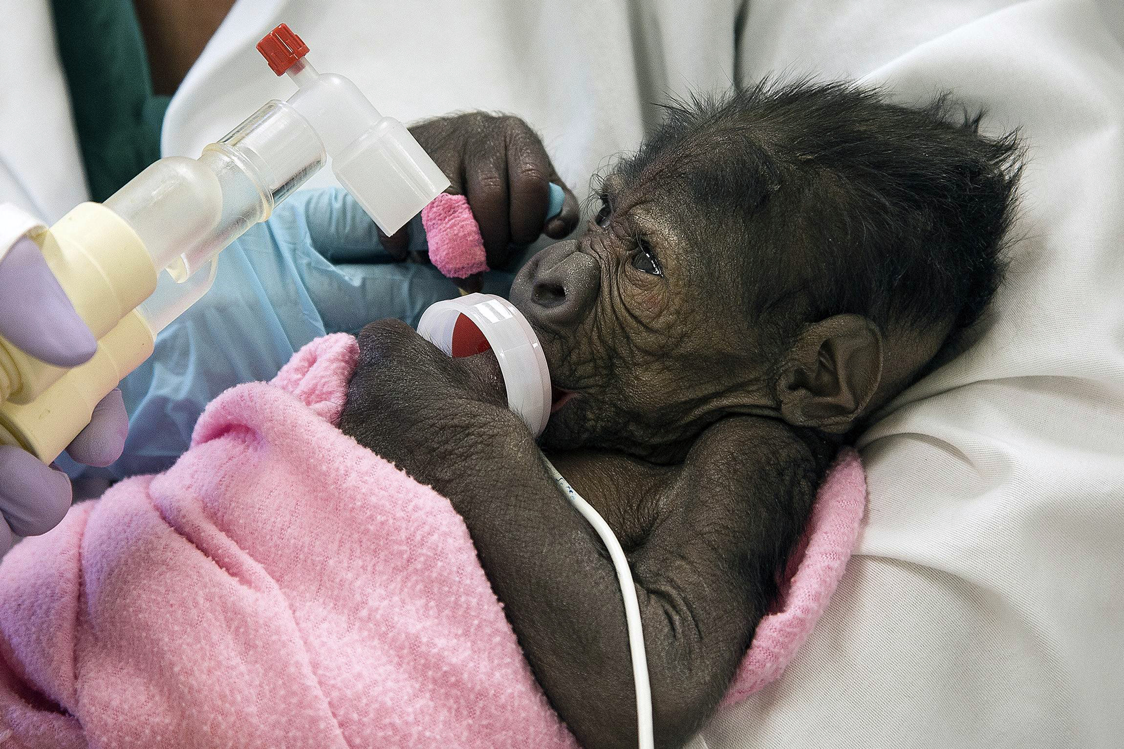 A baby gorilla born in a rare Caesarian section at the San Diego Zoo is suffering from pneumonia March 13, 2014.