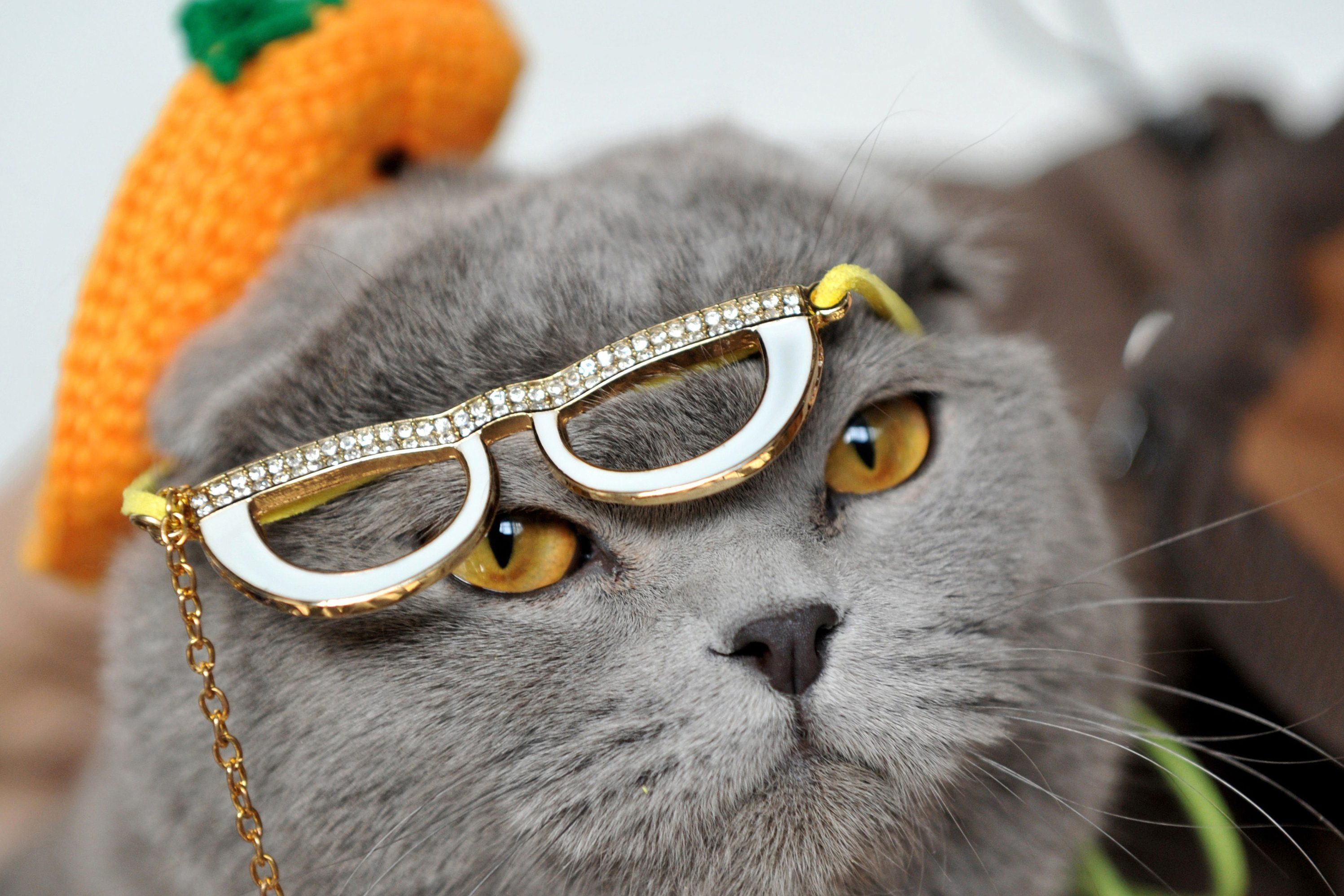 Wearing a hat and glasses a Scottish Fold cat looks on during a cat exhibition in Bishkek on March 23, 2013. Cat lovers from Kyrgyzstan, Kazakhstan and Uzbekistan took part in the exhibition. AFP PHOTO/VYACHESLAV OSELEDKOVYACHESLAV OSELEDKO/AFP/Getty Images