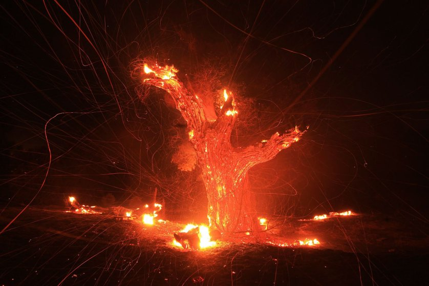 Wind-blown embers fly from an ancient oak tree that burned in the Silver Fire near Banning, Calif. Aug. 7, 2013. Within hours of breaking out about 90 miles outside of Los Angeles, the fire blackened more than 5,000 acres, officials said.