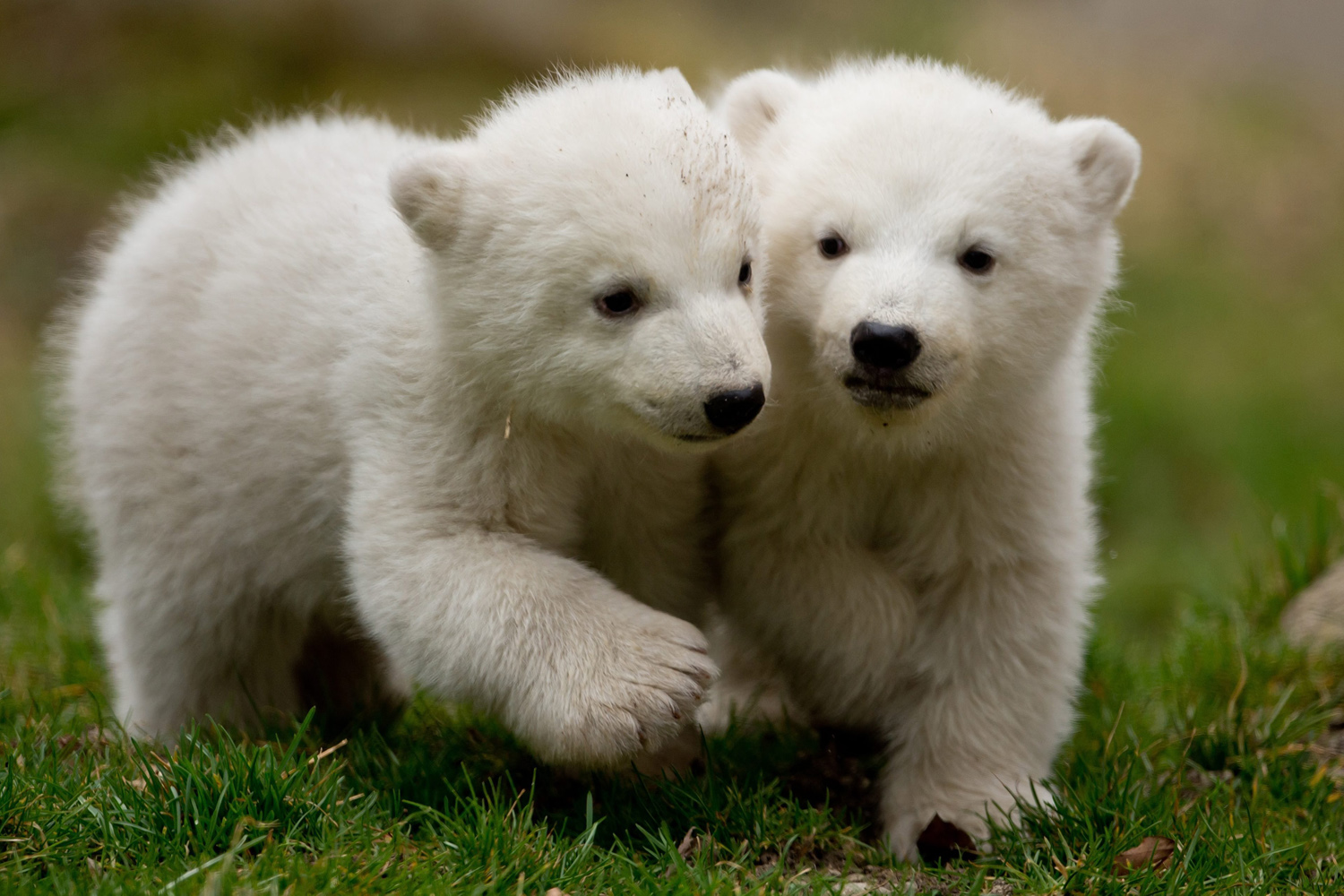 Mar. 19, 2014. Two 14-week old polar bear twins explore their enclosure at the Hellabrunn Zoo for the first time in Munich, Germany. The cubs were born on Mar. 9,  2014.