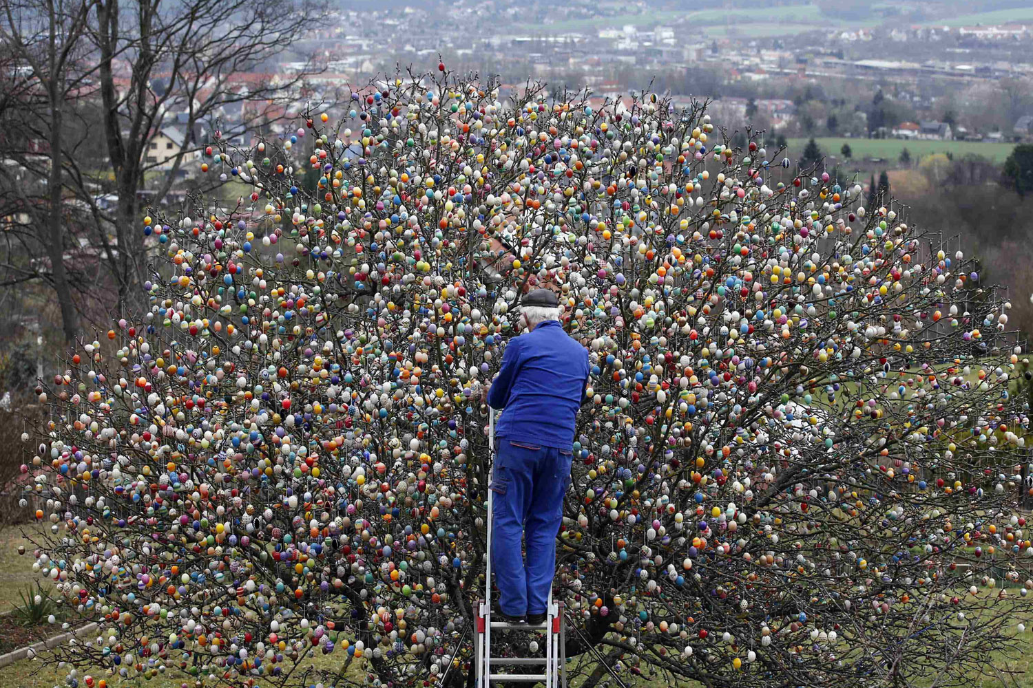 Mar 19, 2014. German pensioner Volker Kraft uses a step ladder as he decorates an apple tree with Easter eggs in the garden of his summerhouse in the eastern German town of Saalfeld.