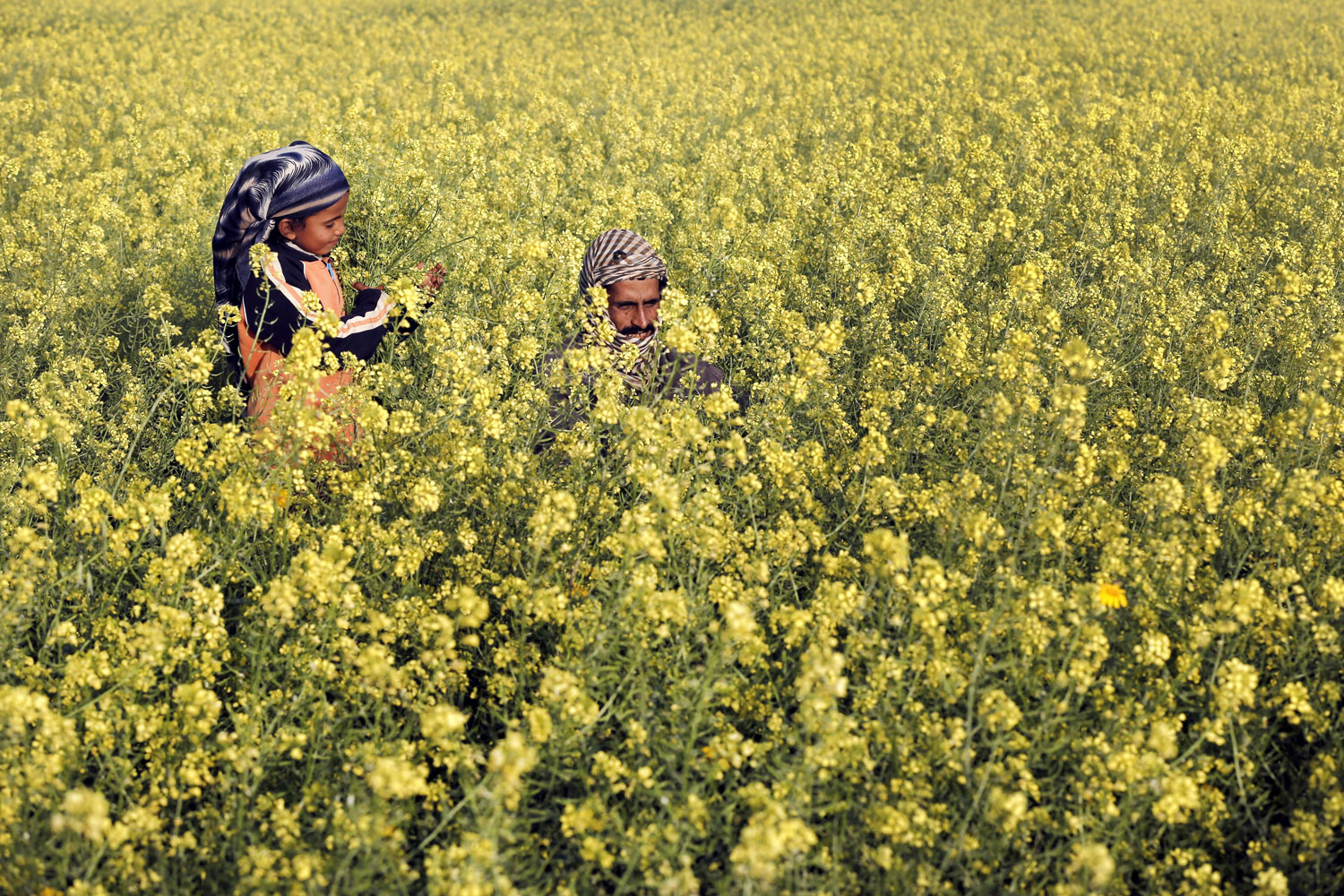 Mar. 20, 2014. A Palestinian man and his daughter are seen amongst wild mustard flowers which grow in the untilled fields across the Gaza Strip.