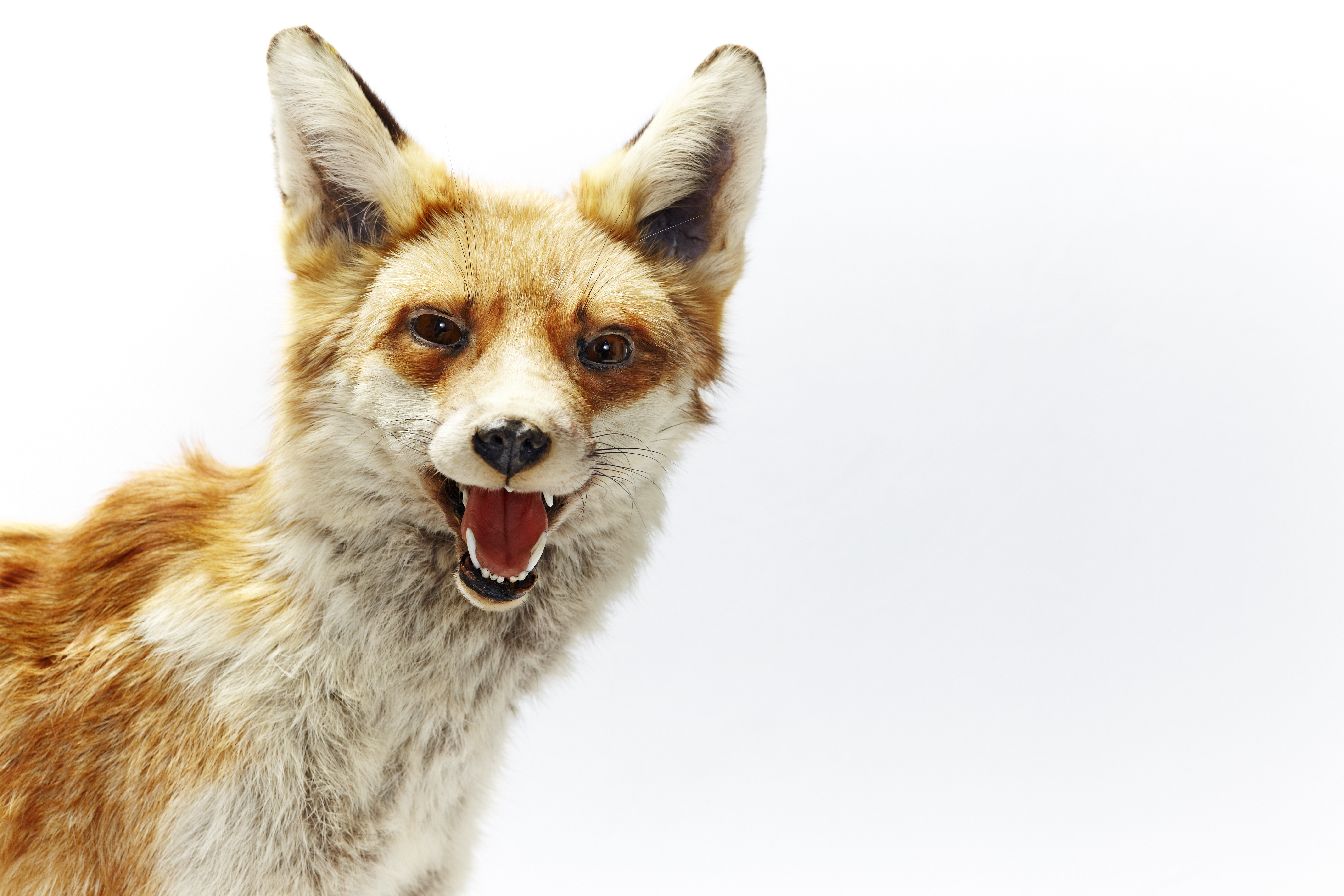 Not the White House rogue fox