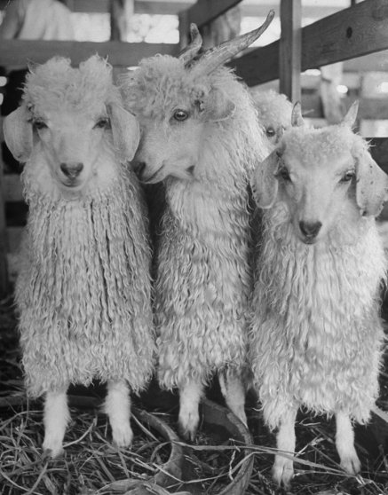 The handsome little animals in this photograph are well-bred Angora goats, not yet a year old.