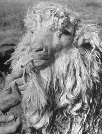 Goats eat cigarette butts and owners encourage them, because tobacco kills intestinal parasites.