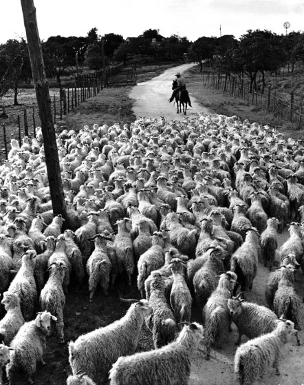 A flock of 600 Angoras heads for home pastures at ranch of 'Goat King' Adolph Stieler near Comfort, Texas.