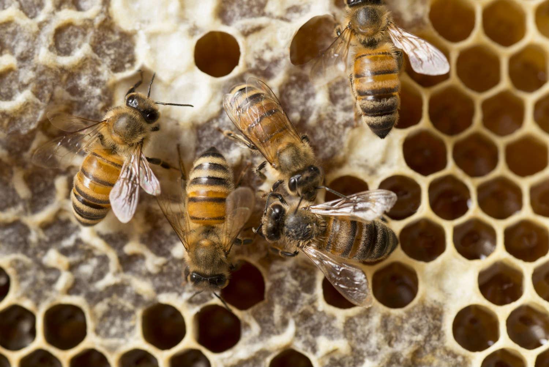 Honeybees still face a variety of health threats