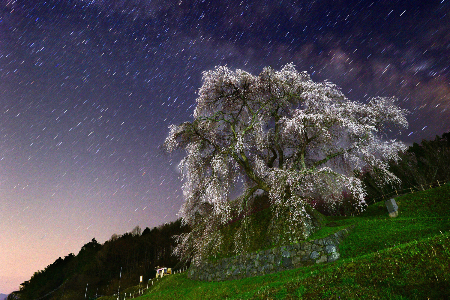 Apr. 8, 2014 In this long exposure image, the 'Matabe-e zakura', cherry blossom which is believed to be more than 300 years old, is in full bloom in Uda, Nara, Japan.
