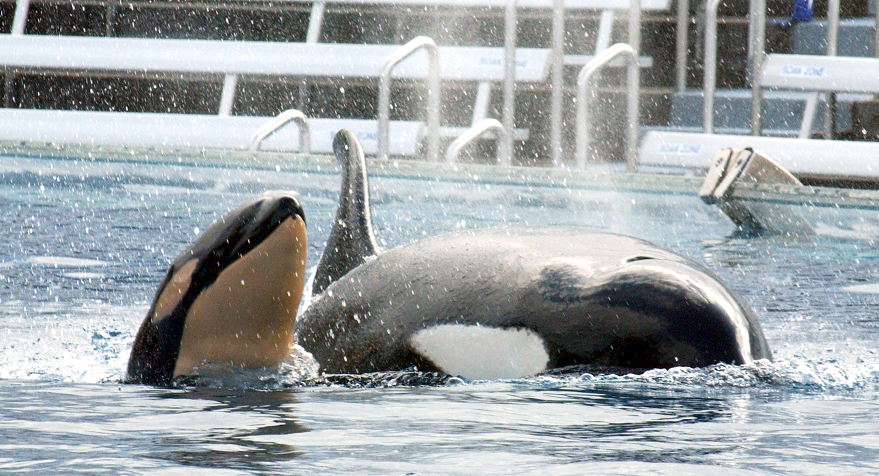 A newborn baby killer whale swims with its mother on Dec. 21, 2004, at Shamu Stadium in SeaWorld San Diego