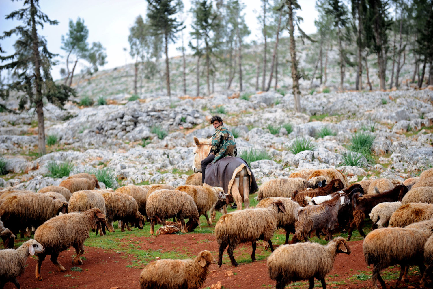 A Syrian shepherd cares for his flock near the ruins of the ancient Roman city of of Serjilla in the northwestern province of Idlib, Syria, March 19, 2013.