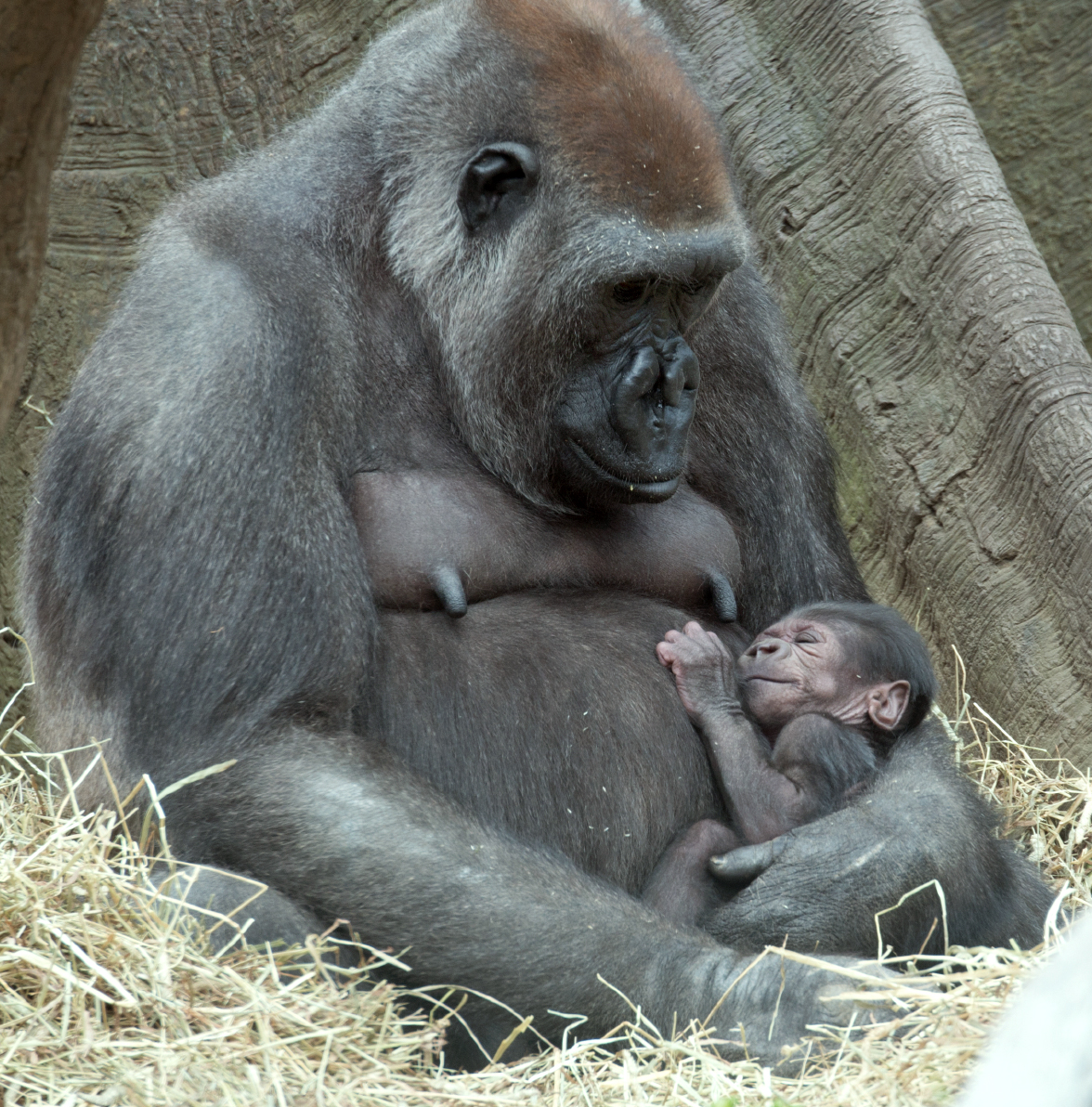 """Tuti,"" a female Western Lowland gorilla looks down at her sleeping baby at the Bronx Zoo in New York. With the addition of two new baby gorillas recently born at the zoo, the Bronx Zoo''s Congo Gorilla Forest is now home to 20 gorillas."