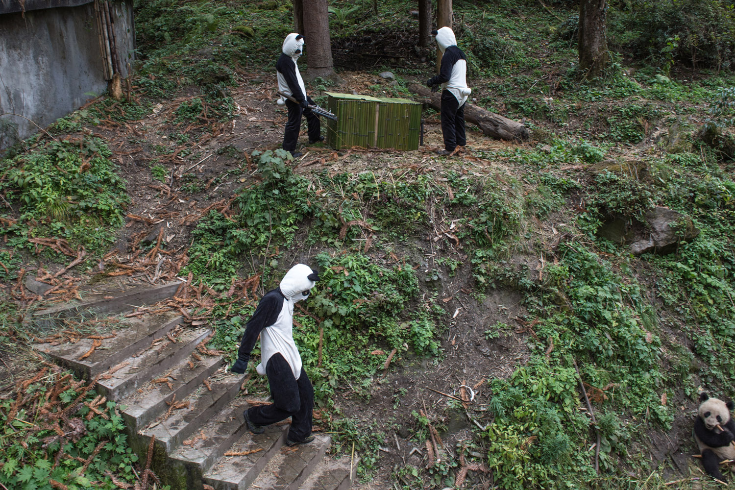 Panda keepers attempt to lure Yun Tao, into a box so they can move her to the next level of training in the Wolong National Nature Reserve.