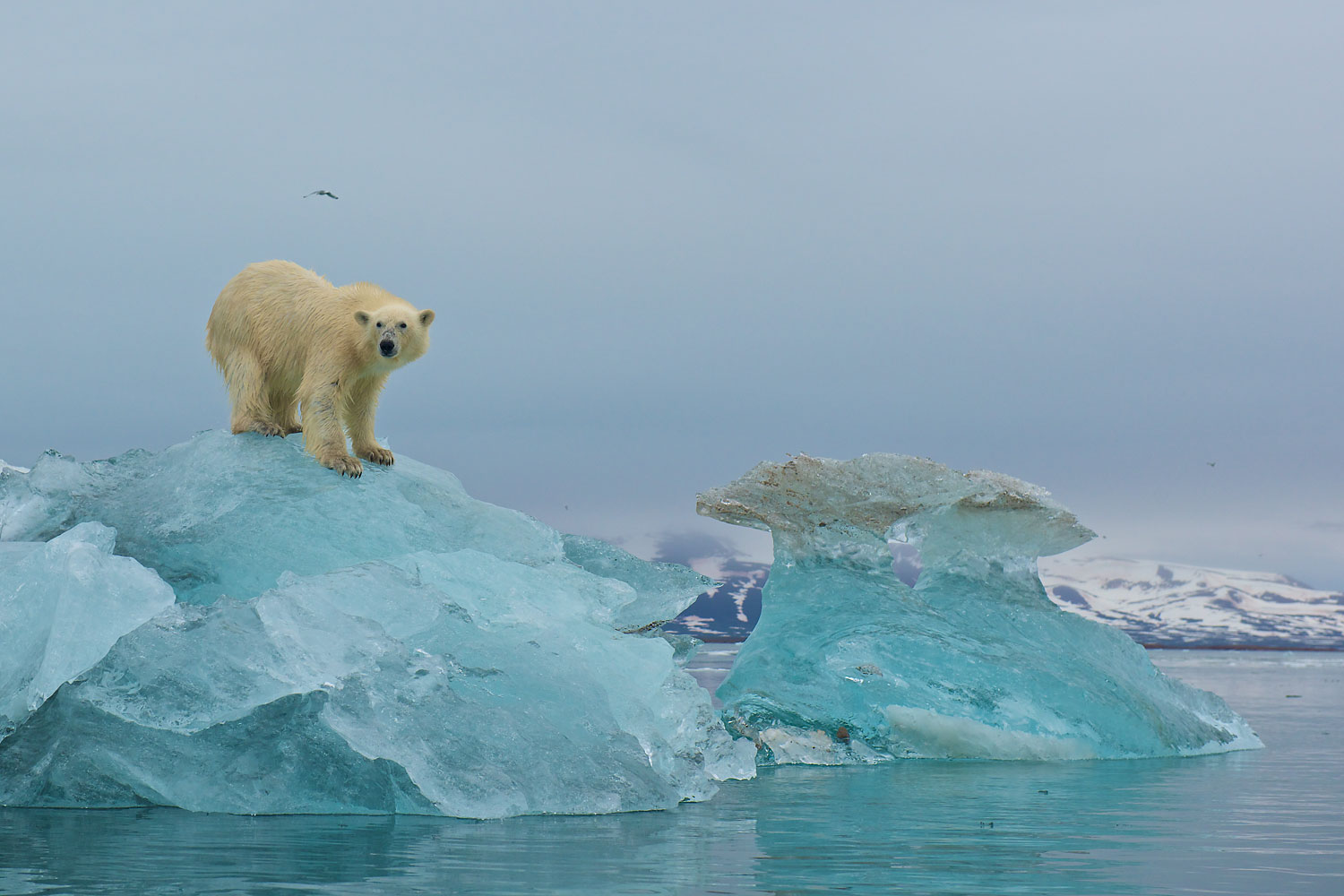 A polar bear scans the surrounding area for seals from the top of a large piece of glacial ice in Liefdefjorden, Svalbard in 2011.