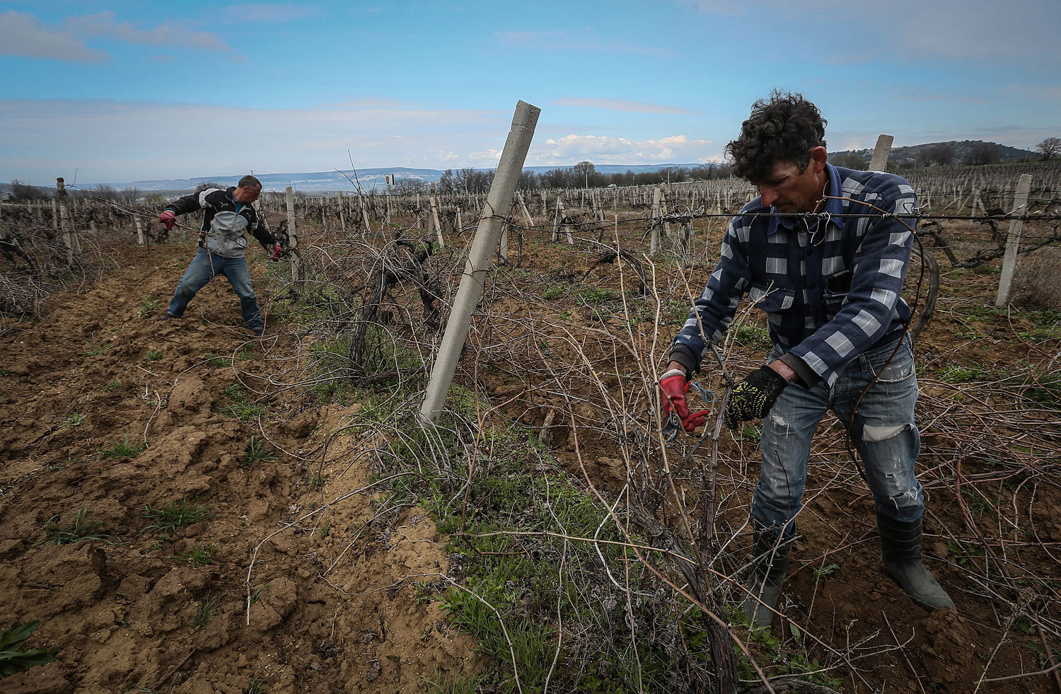 Workers prune wine grapes vine on the Massandra's vineyard near Sevastopol, Crimea, March 28, 2014.