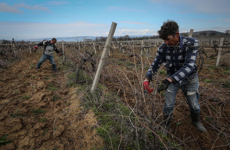 Workers prune wine grapes vine on the Massandra's vineyard near Sevastopol, Crimea, March 28, 2014.