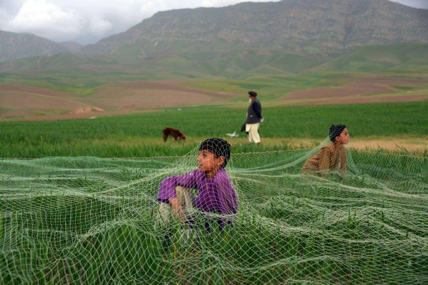 AFGHANISTAN-SOCIETY-QUAIL