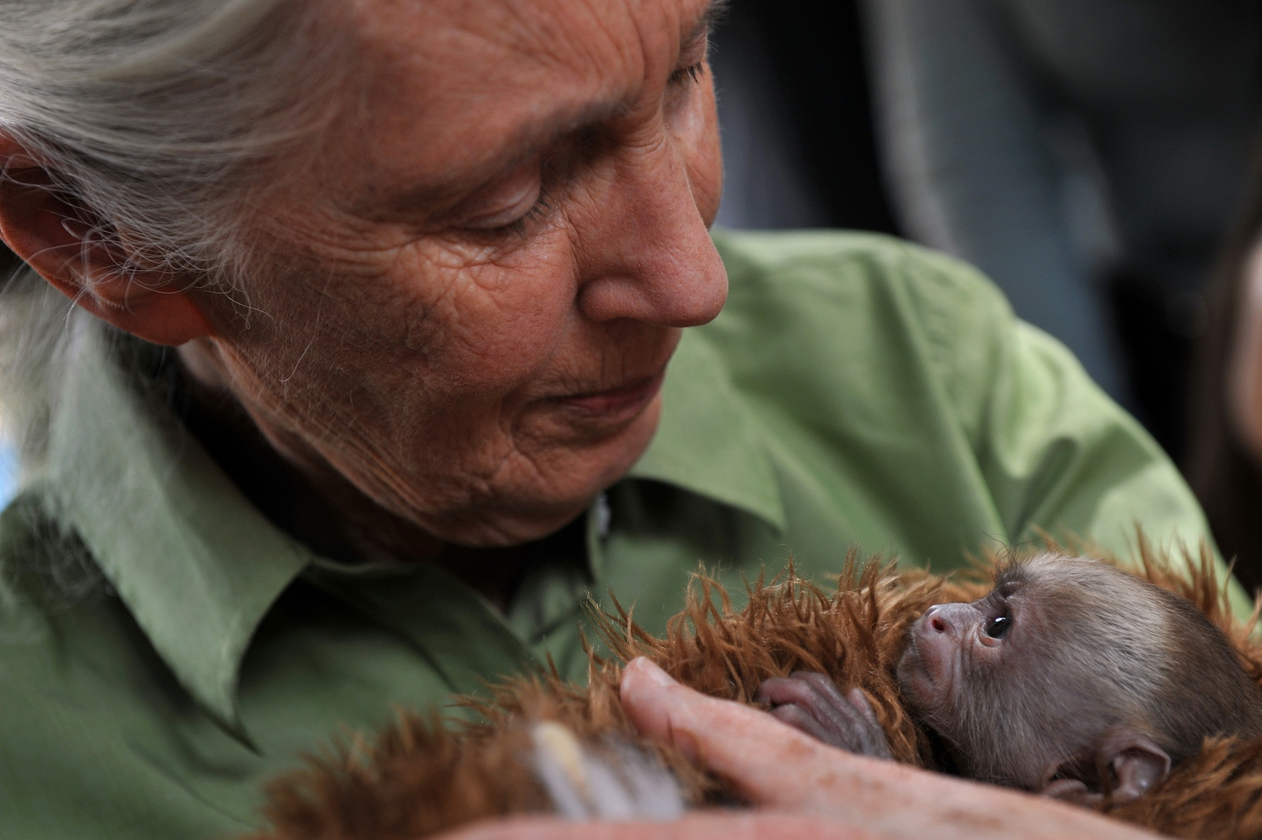 Jane Goodall holds a baby Cariblanco monkey (cebus capucinus) during a visit to the Rehabilitation Center and Primate Rescue, near Santiago, on Nov. 23, 2013, while visiting Chile.