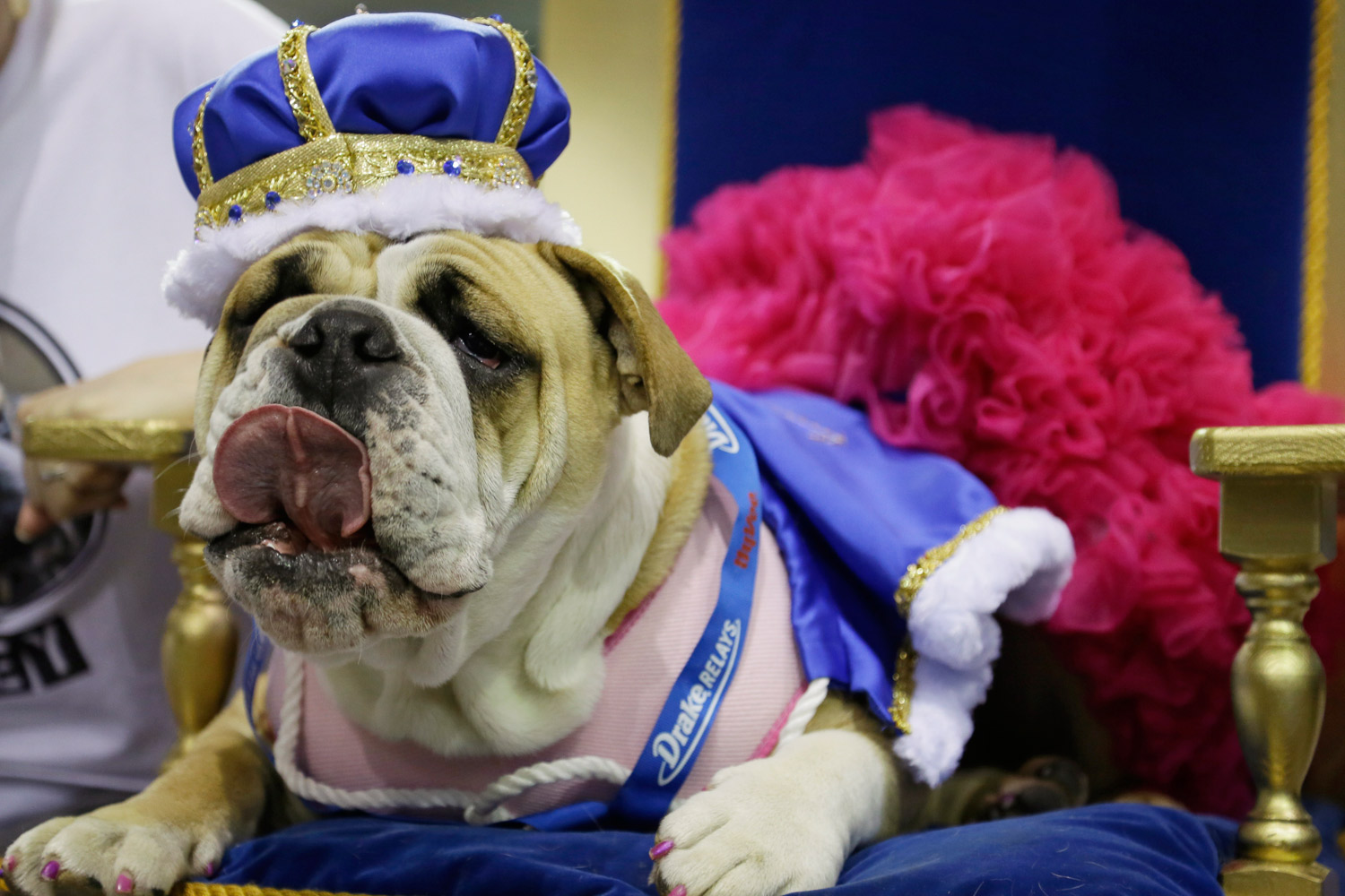 Lucey sits on the throne after being crowned the winner of the 35th annual Drake Relays Beautiful Bulldog Contest, Monday, April 21, 2014, in Des Moines, Iowa.