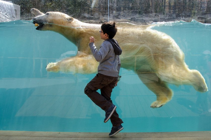 A child looks at a polar bear during the opening day of the new polar area at the Mulhouse Zoo on April 2, 2014.