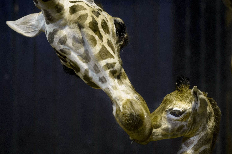 Rothschild giraffe Tatu and its five-day-old cub Jabulani at the Zoo-Aquarium in Madrid on April 20, 2014.