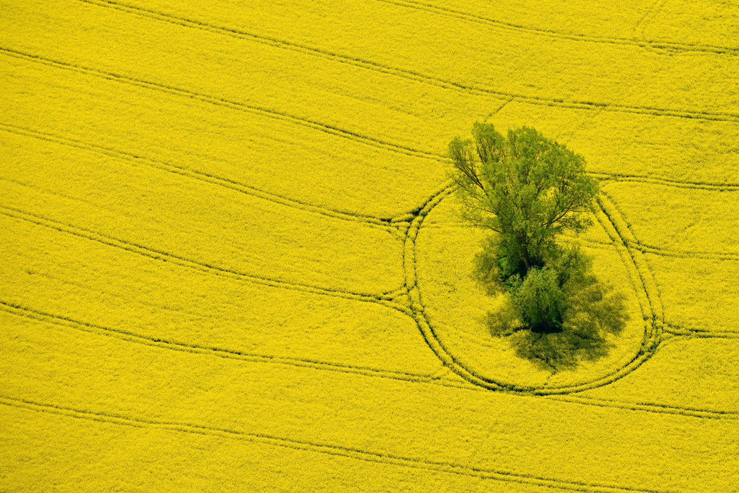 An aerial view shot from a small aircraft onto a yellow rape field with a group of trees in the German state of Brandenburg near Muencheberg, Germany, on April 29,  2014.