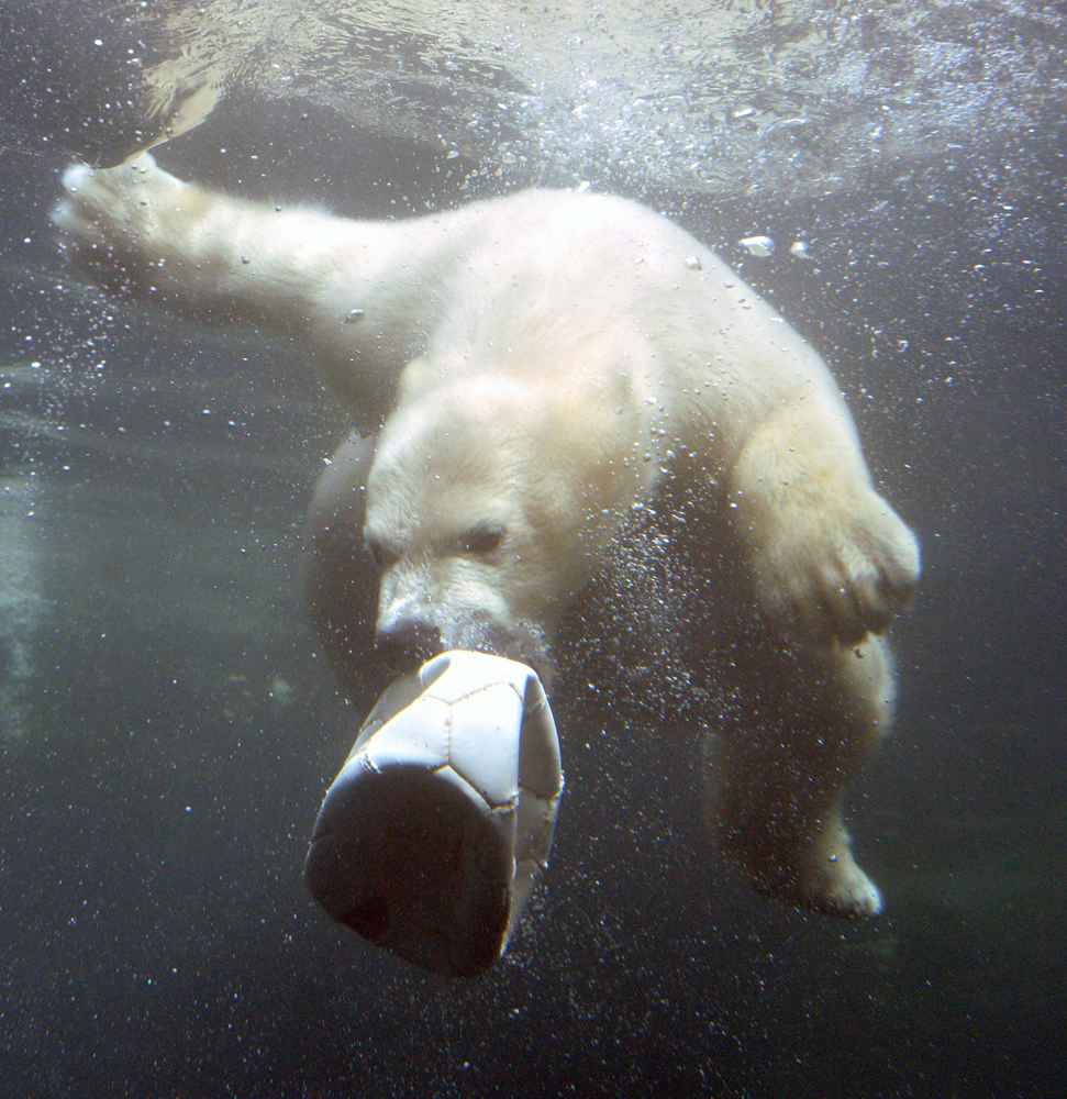 Young female polar bear Lale plays with a ball in the basin of her open-air enclosure at the Zoo am Meer in Bremerhaven, Germany, May 13, 2014.