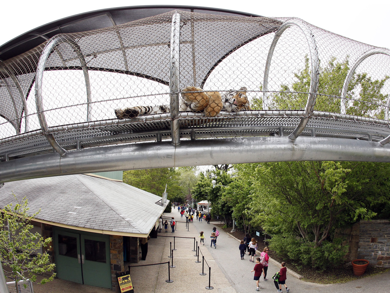 An Amur Tiger lies down to relax in the Big Cat Crossing, a mesh-engineered passageway that crosses over the main visitor path inside the Philadelphia Zoo in Philadelphia, on May 14, 2014.