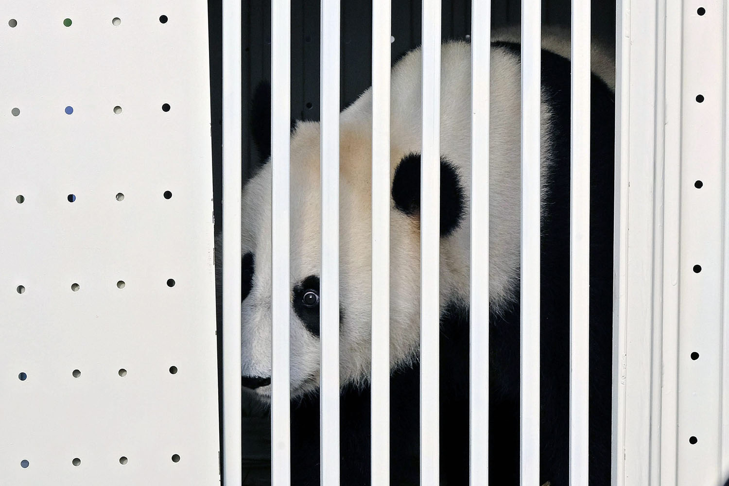 May 21, 2014. One of China's two pandas, eight-year-old Feng Yi (female) looks out from its cage upon its arrival at the Kuala Lumpur International Airport.