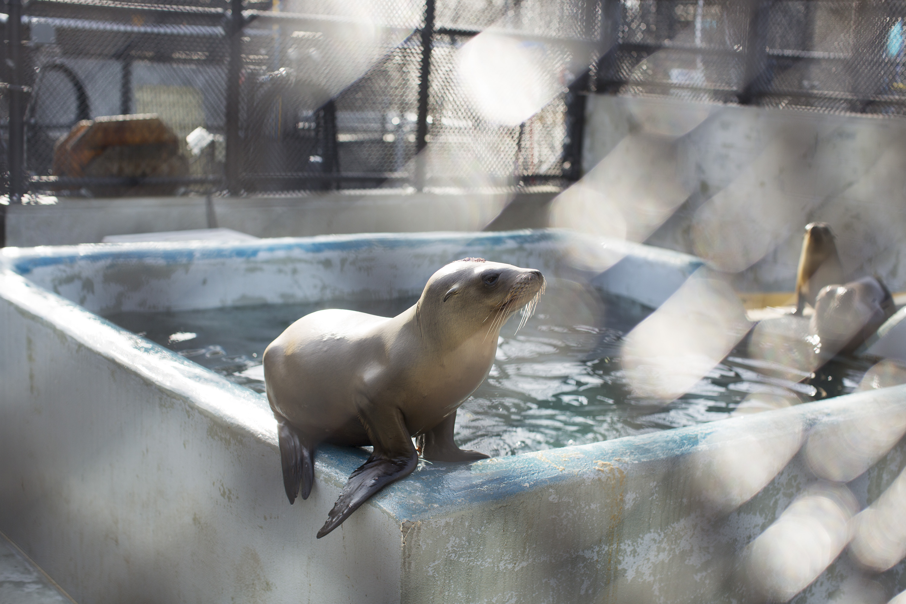 A California sea lion sits on the edge of a pool at the Marine Mammal Center in Marin County, Calif. on May 9, 2014.