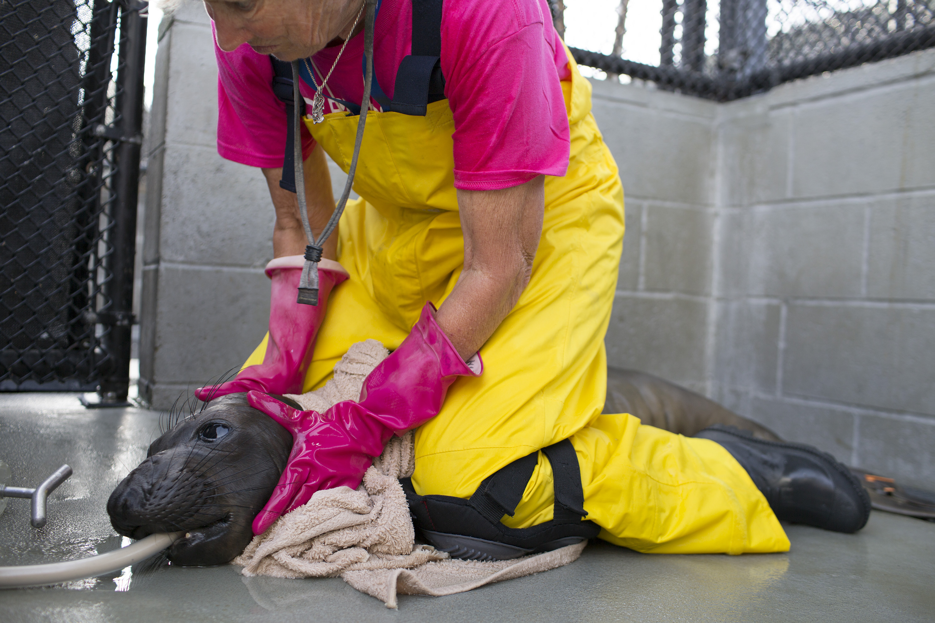 A volunteer restrains an elephant seal pup while the animal is fed through a tube at the Marine Mammal Center in Marin County, Calif. on May 9, 2014.