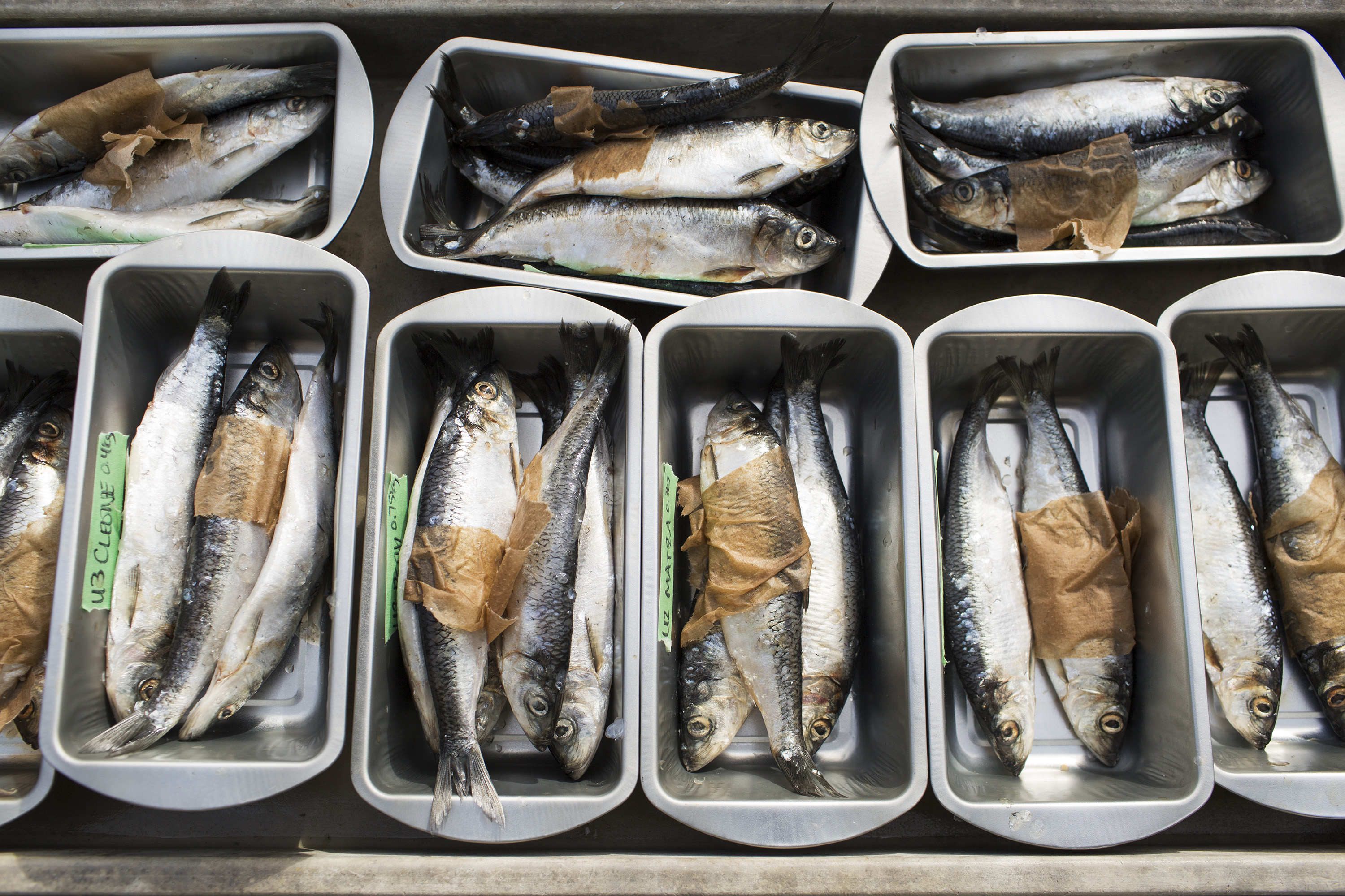 Herring breakfasts are organized and labeled for each seal and sea lion at the Marine Mammal Center in Marin County, Calif. on May 9, 2014.