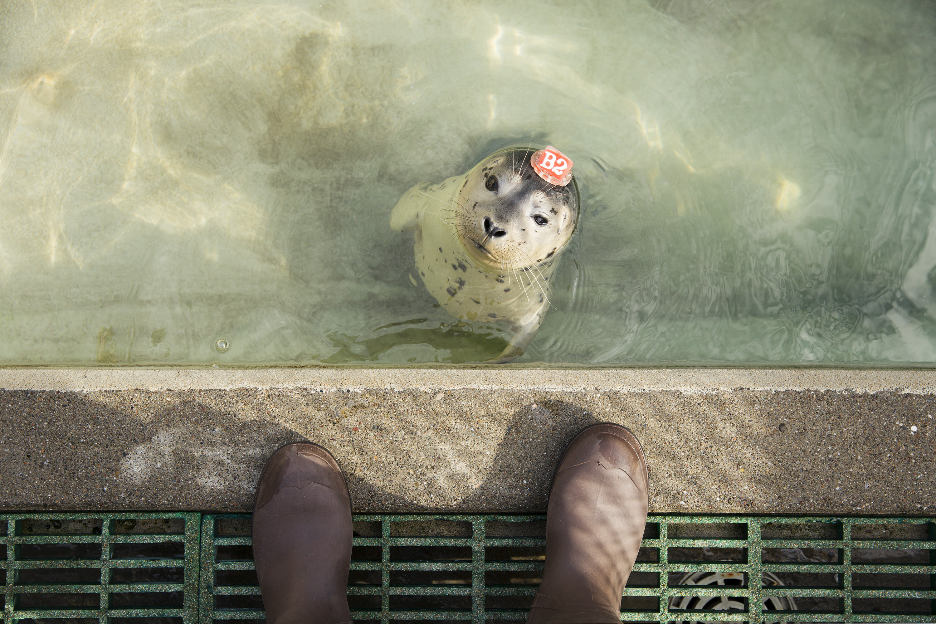 "A harbor seal pup wears a plastic ""hat tag,"" used to identify individual animals at the Marine Mammal Center in Marin County, Calif. on May 9, 2014."