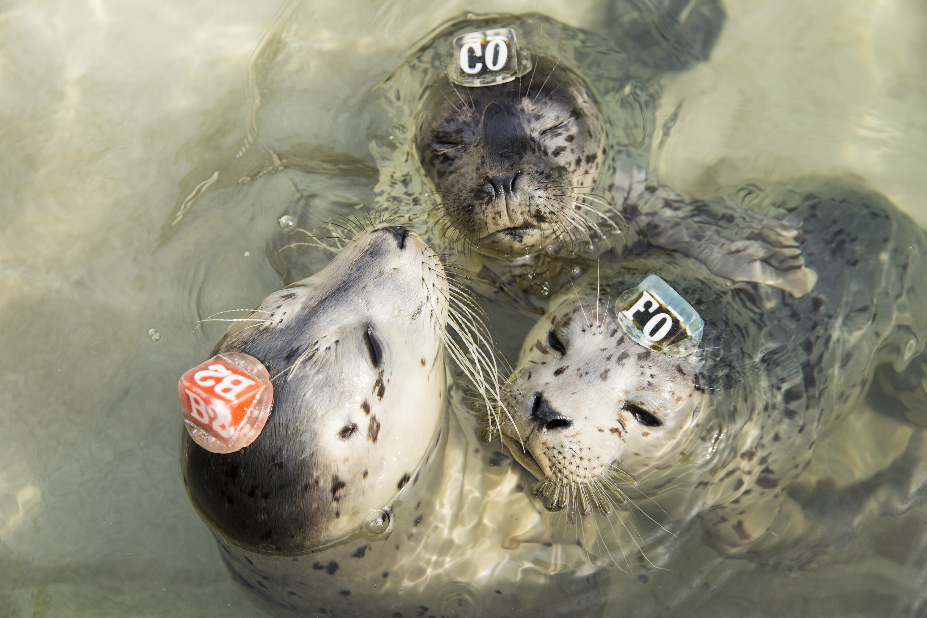 Harbor seal pups wear plastic identification tags that help caregivers tell them apart at the Marine Mammal Center in Marin County, Calif. on May 9, 2014.