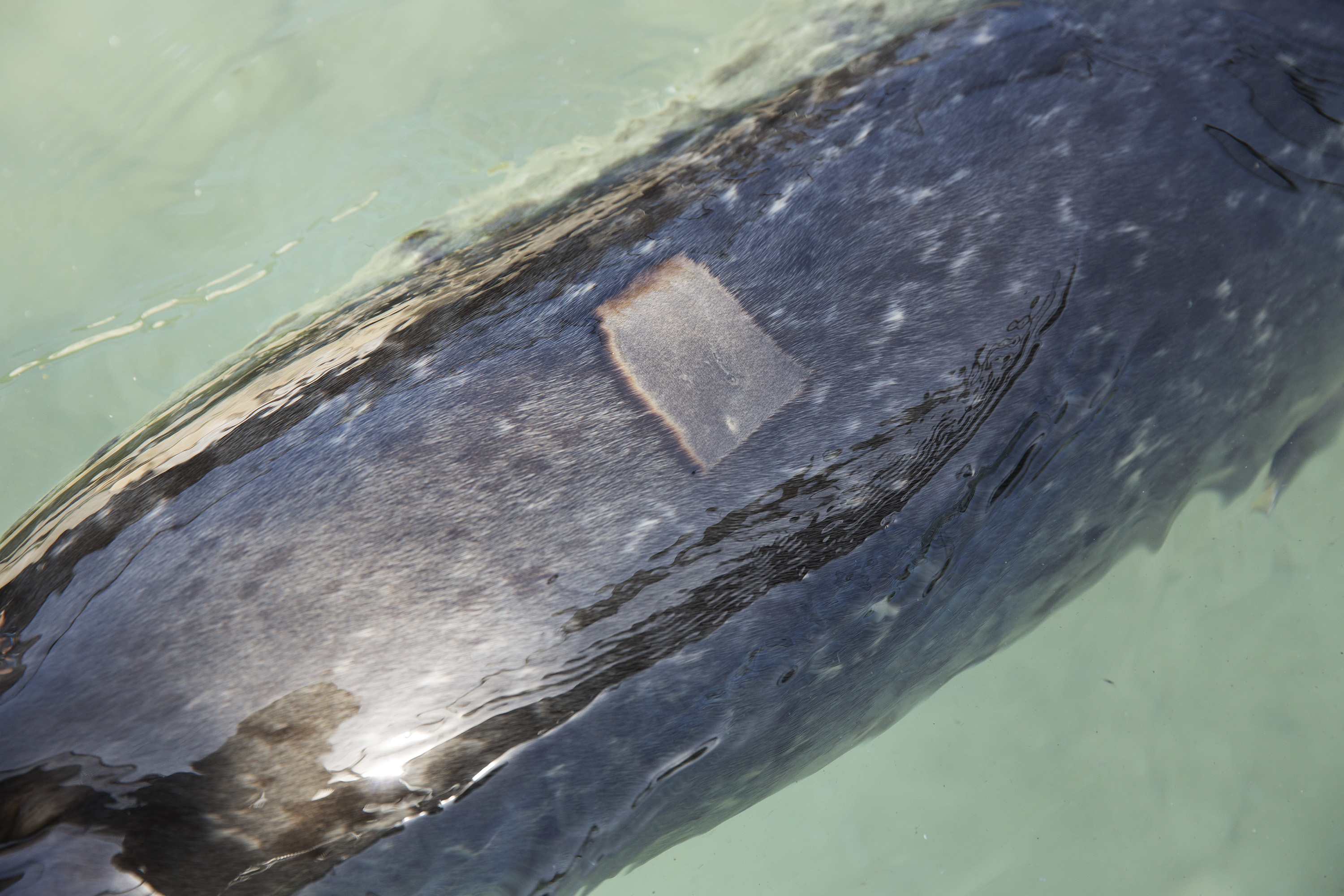A shaved patch on the back of a harbor seal shows where blood was drawn during an admit exam at the Marine Mammal Center in Marin County, Calif. on May 9, 2014.