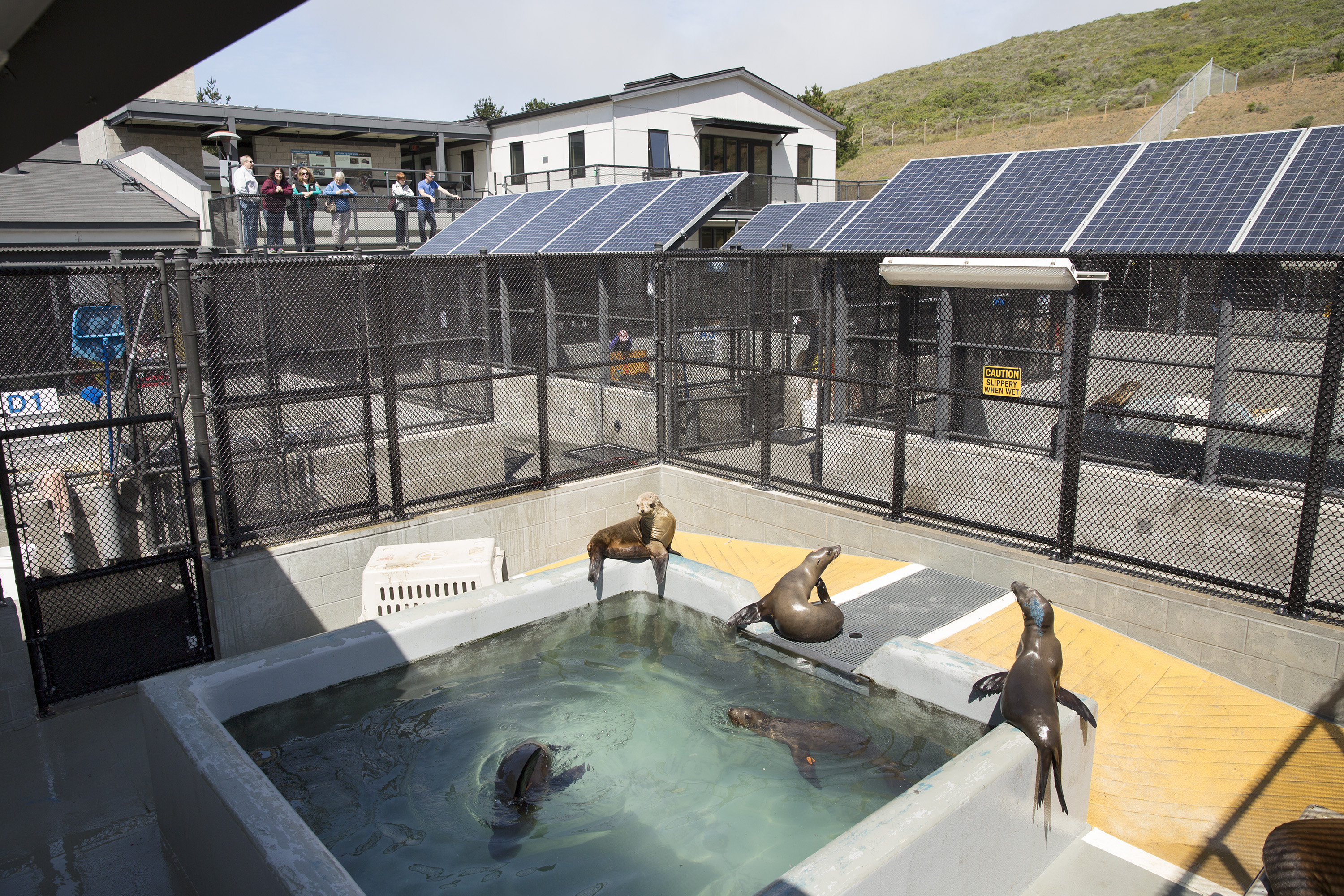 California sea lions swim  and sit out in the sun while visitors look on at the Marine Mammal Center in Marin County, Calif. on May 9, 2014.
