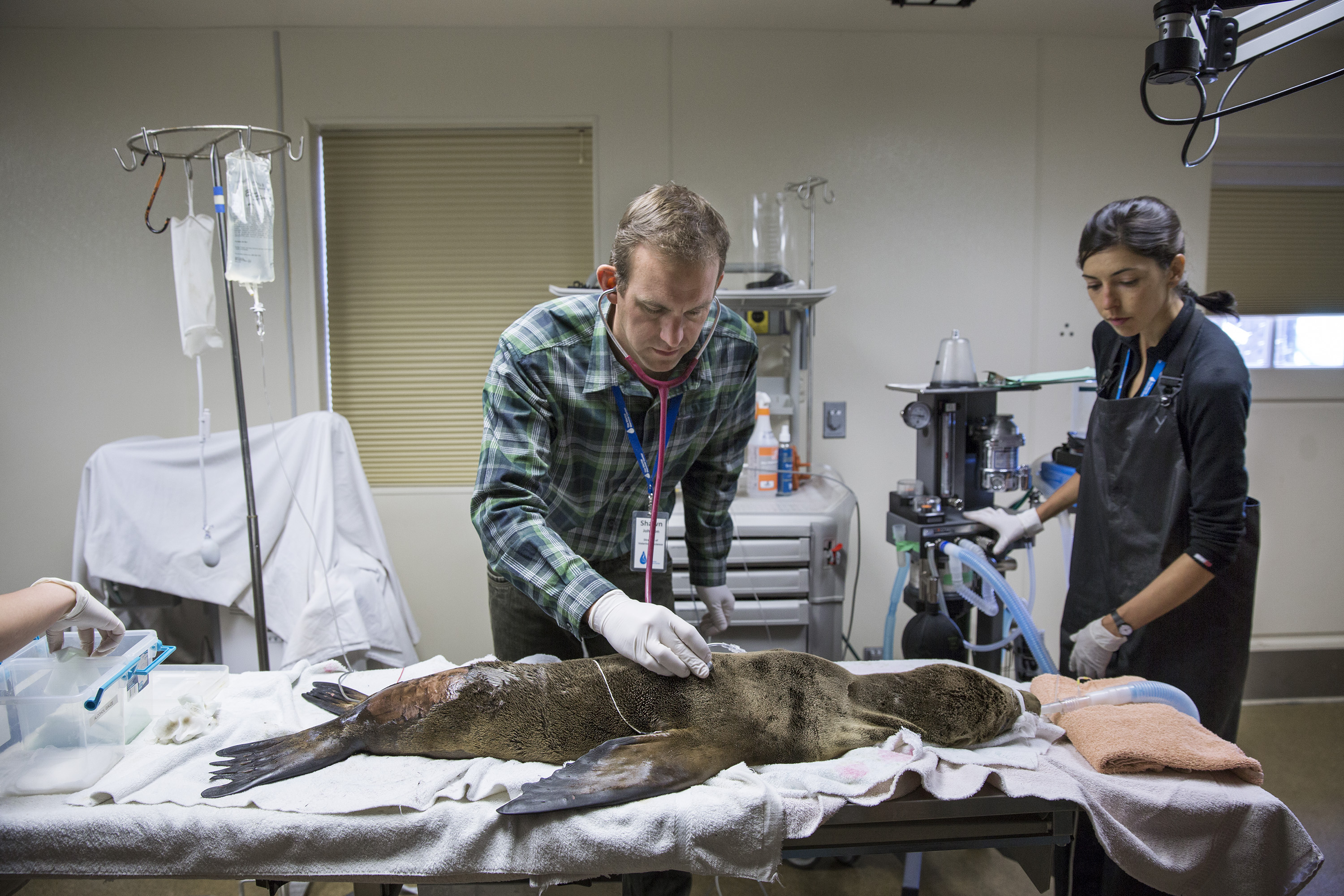 Dr. Shawn Johnson, Director of Veterinary Science, listens to the lungs of a young sea lion under anesthesia at the Marine Mammal Center in Marin County, Calif. on May 9, 2014.