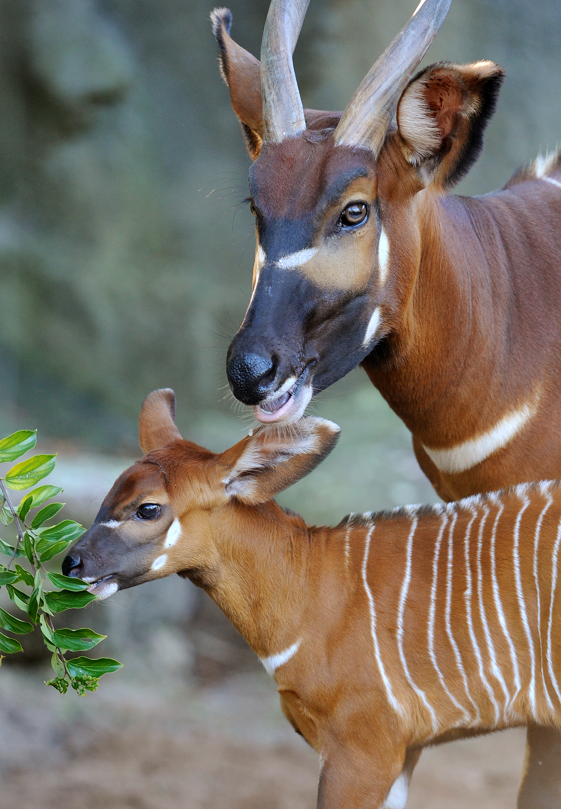 A two week-old Eastern Bongo calf stands beside her mother at Sydney's Taronga Zoo on April 13, 2012.