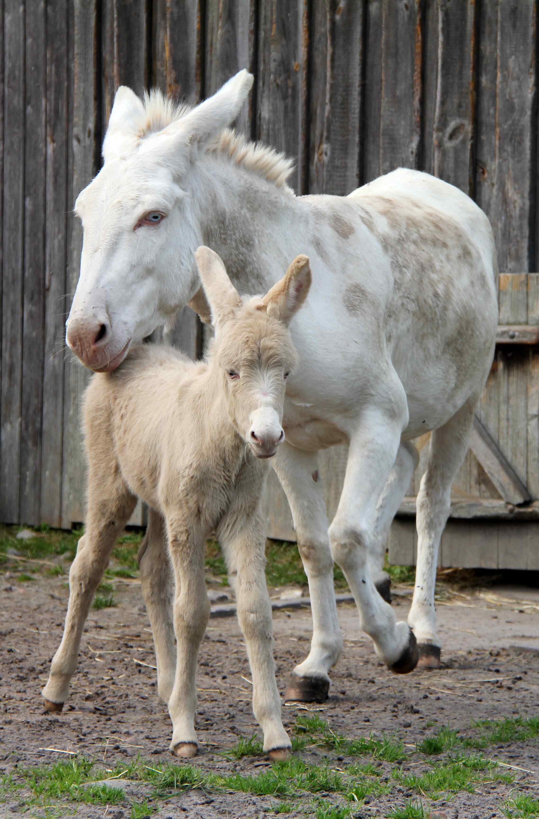 A white donkey foal walks with his mother Anuschka in his enclosure at the West Coast park in St. Peter-Ording, Germany on September 09, 2012.