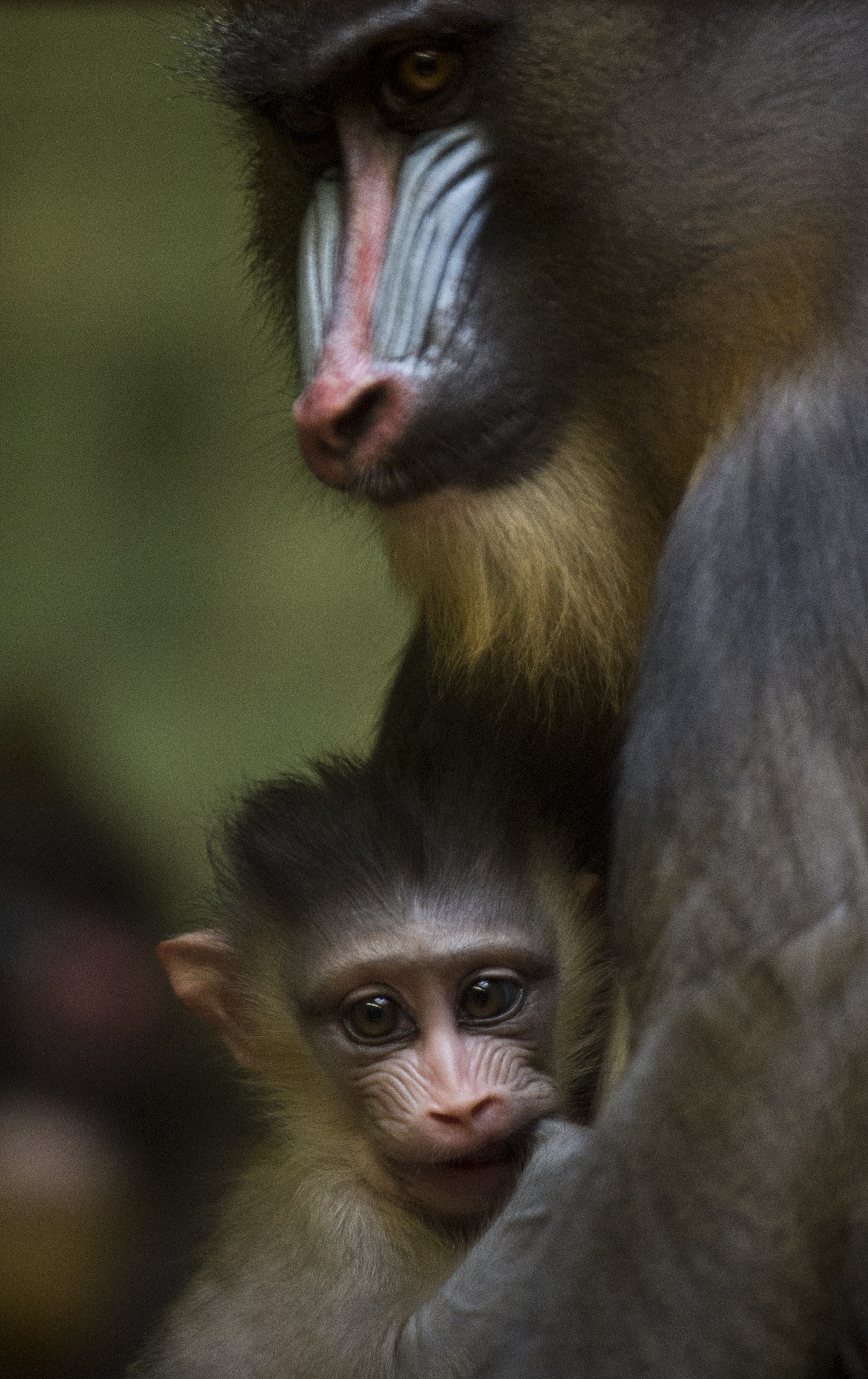 One month-old baby mandrill Aron clings to his mother Sandra in their cage at Berlin's Zoologischer Garten zoo on September 28, 2012.